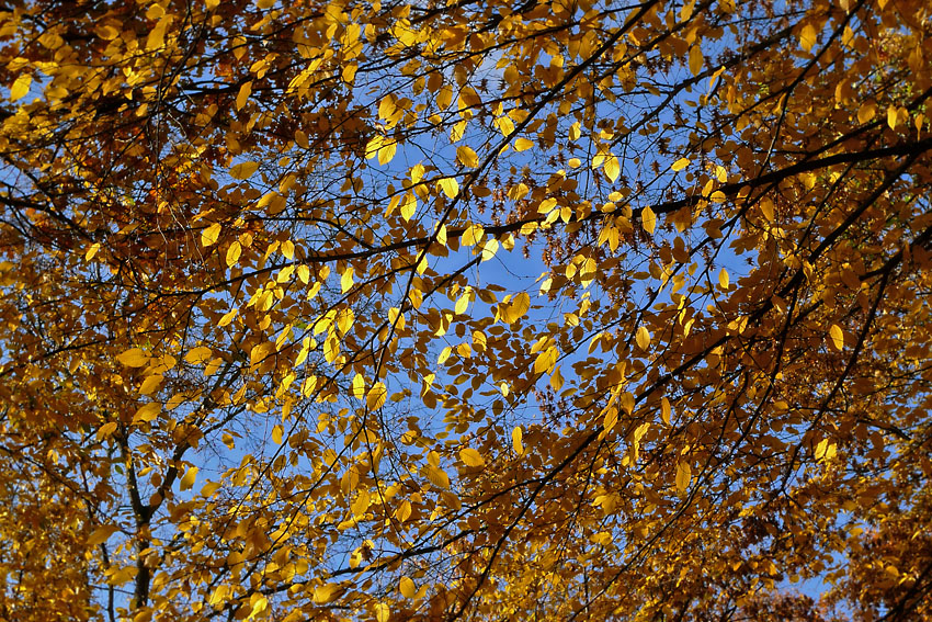 Autumn leaves (yellow)