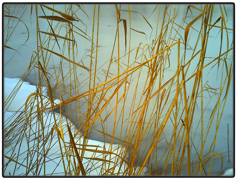 Frozen pond with reeds
