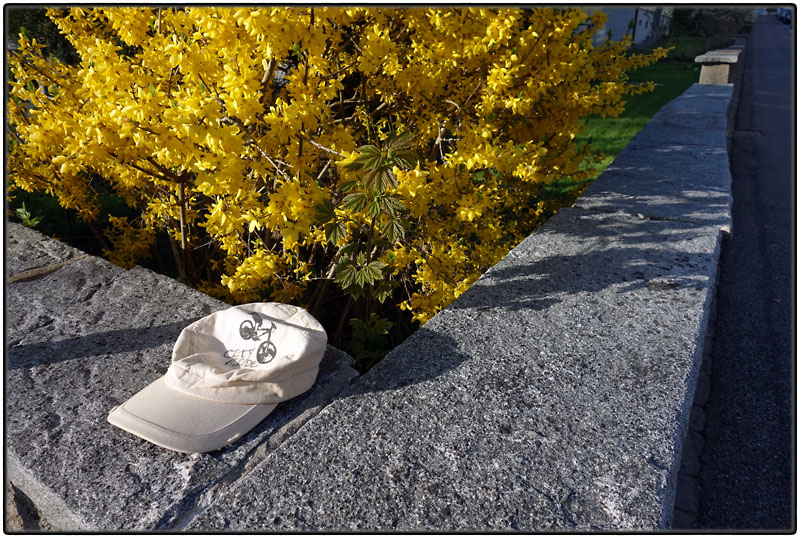 Lost cap with forsythia