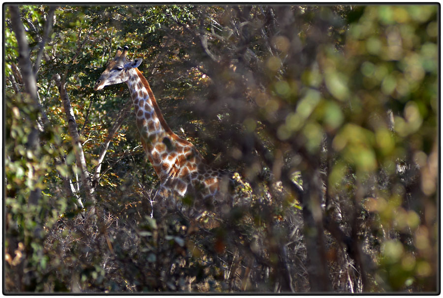 Giraffe in the jungle