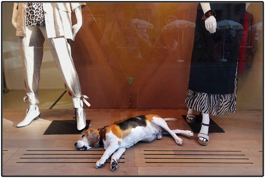 Shopwindow dog